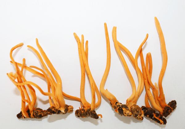 Đông trùng hạ thảo cũng được dùng để nấu chè dưỡng nhan