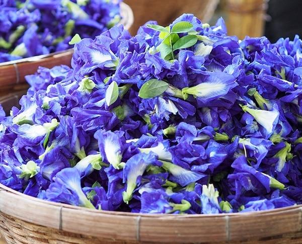 Trà đậu biếc được sản xuất từ hoa của cây đậu biếc