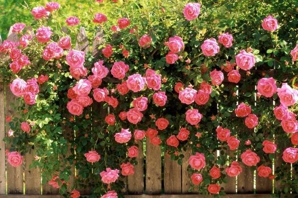 Trà làm từ hoa hồng chứa nhiều vitamin và các hợp chất chống oxy hóa tốt cho sức khỏe