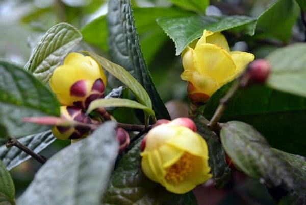 Cả hoa vàng lá chè hoa vàng đều có nhiều công dụng cho sức khỏe