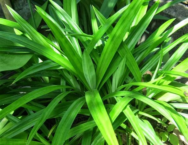 Lá cây sâm dứa có khả năng thanh nhiệt, giải độc cực tốt