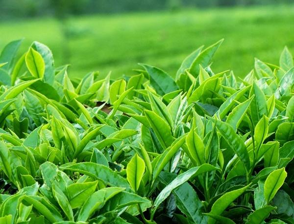 Trà xanh trong trà lá sâm dứa giúp phòng ung thư hiệu quả