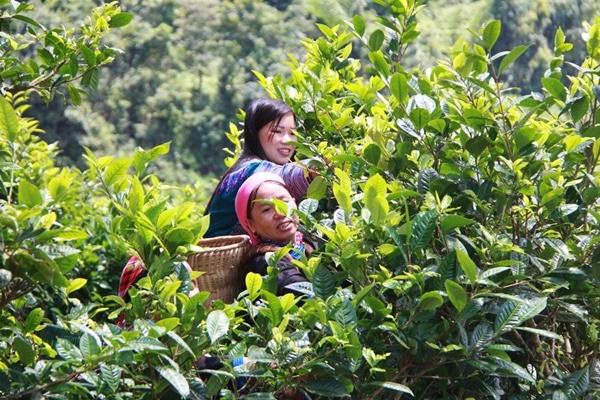 Nguồn chất chống ung thư trong trà shan tuyết của Việt Nam đang cao gấp 11 lần trà xanh của Nhật Bản