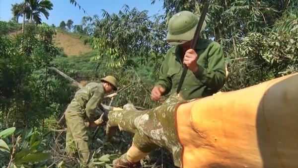 Yên Bái có nhiều vùng trồng quế lâu năm, cho ra các sản phẩm trà quế cao cấp