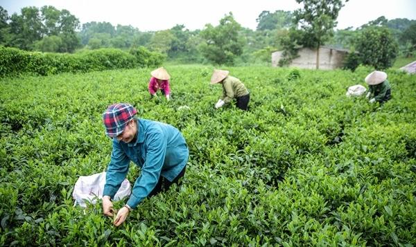 Tân Cương là vùng trà Thái Nguyên nổi tiếng nhất