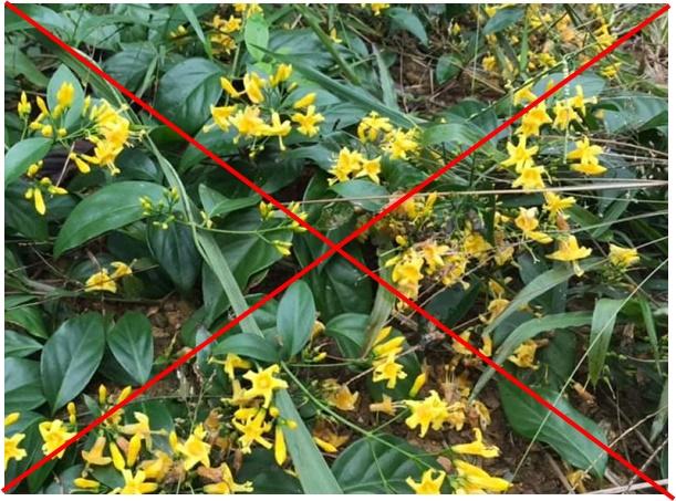 Lá ngón - loại cây rất độc nằm trong nhóm thuốc độc bảng A