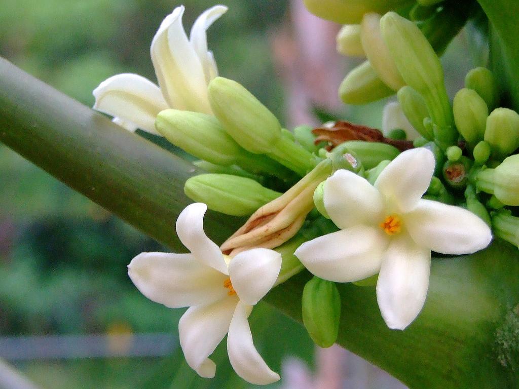 Hoa đu đủ đực là hoa đực của cây đu đủ - một loại cây tạp tính