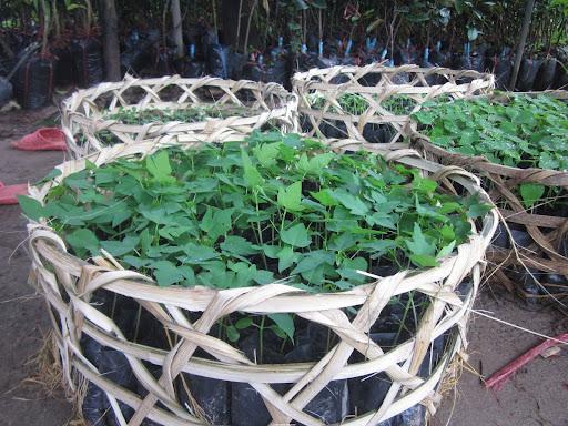 Cây đu đủ đang được trồng nhiều ở Việt Nam và các nước trong vùng nhiệt đới