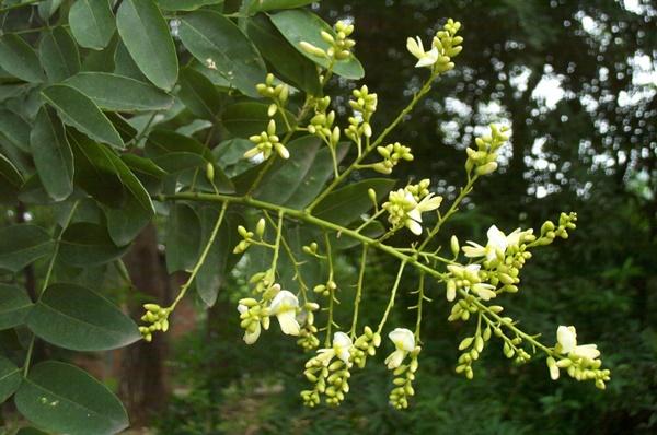 Hoa hòe tươi có màu trắng xanh, mọc thành từng chùm ở ngọn cành