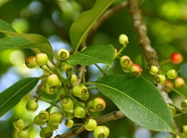 Vỏ thân cây vối hoặc nụ hoa vối đều rất tốt cho đường tiêu hóa